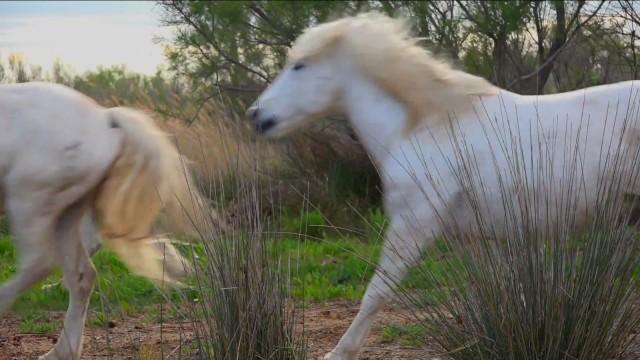 Camargue Horses gallop