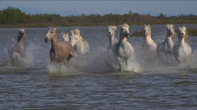 Camargue Horses gallop02